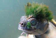 Plight of genital-breathing punk turtle highlighted by scientists