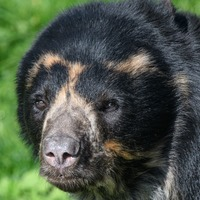 This Andean bear won't sleep until he gets his bed just right and we totally feel his vibe