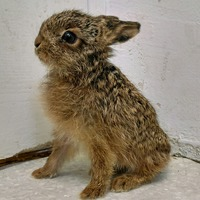 A beautiful baby hare has been nursed back to health from the brink of death