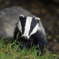Castle tunnel closed after 'angry badger' discovered