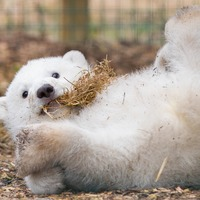 UK's first new polar bear cub in 25 years is male, wildlife park says