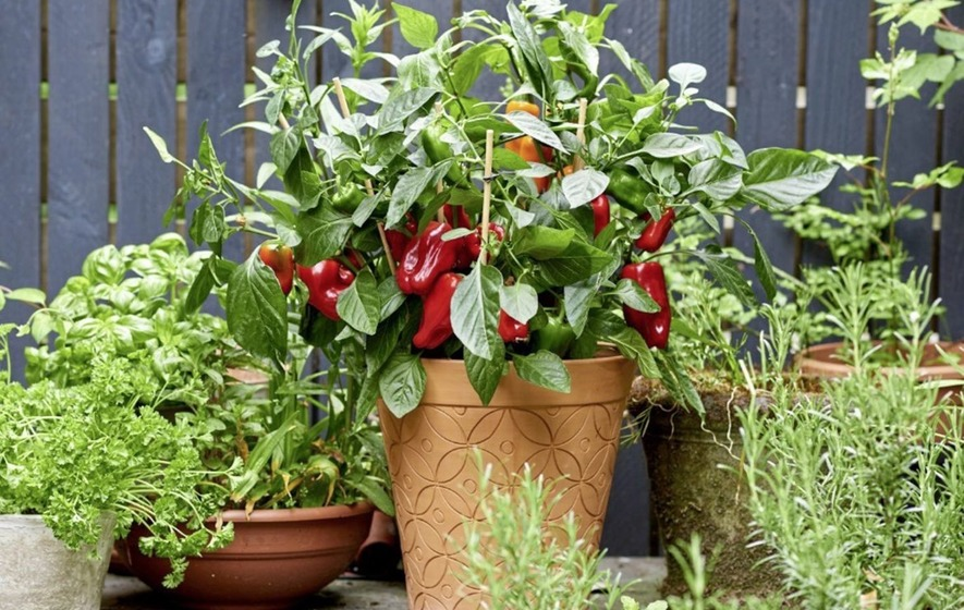 The Casual Gardener: When to plant chilli depends on how hot you like it