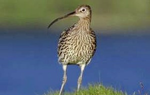 Take on Nature: Ireland should listen to the cry of the curlew before it is too late