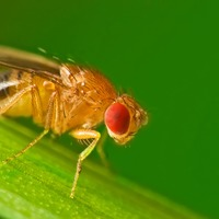 Male fruit flies love to ejaculate – and they'll turn to booze if they can't