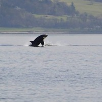 Pod of killer whales puts on show while swimming in Clyde