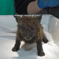 Fox cub found covered in petrol in skip is recovering
