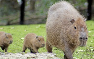 Belfast Zoo celebrating arrivals of two of the world's largest rodents - twin capybara babies