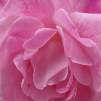 Rose genome sequence could lead to improved blooms