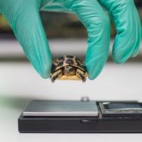UK zoo breeds rare tiny spider tortoise