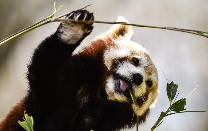This Red Panda Eating Grapes Is Guaranteed To Cheer You Up The