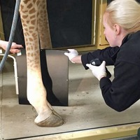 Tall order as wildlife park staff X-ray giraffe's leg