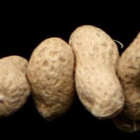 New blood test developed to spot peanut allergy