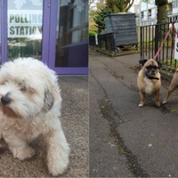 Stop everything and look at these democracy-loving dogs at polling stations
