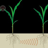 Plants use chemical signals to 'talk' to each other underground