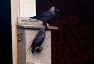Jackdaws 'can recognise friends and respond to warnings from birds they know'