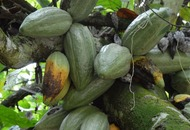 Does the future of chocolate lie in genetically engineered cocoa beans?