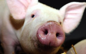 Pig virus which is potential threat to humans has scientists worried