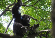 Chimpanzee nests 'cleaner than human beds', scientists find