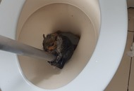 This poor squirrel had to be rescued after getting stuck in the toilet