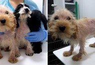 These adorable cockapoo puppies are recovering after being dumped