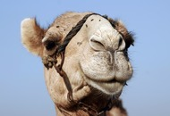 You won't believe how many flies this camel has been carrying around
