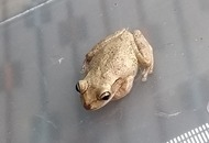 Exotic frog ended up in UK after stowing away in suitcase