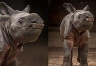 A rare and adorable greater one-horned rhino calf has been born at Chester Zoo