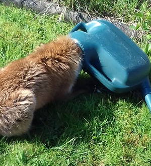 Fox rescued from watering can