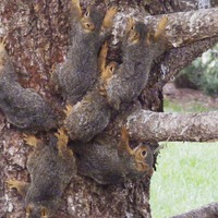 6 young squirrels had to be rescued when their tails got tangled together