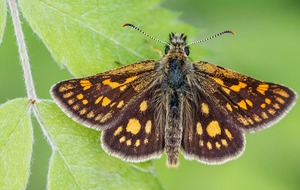 Once-extinct butterfly takes to wing again in England