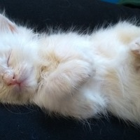 This little cloud of a kitten is safe and well after being rescued