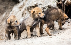 Check out these cute red wolf pups venturing out to play for the first time