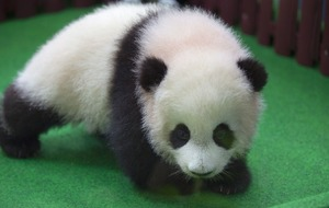 Baby panda born in Malaysia zoo makes media appearance