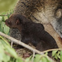 Polish zoo claims first birth of rare bear cuscus in captivity