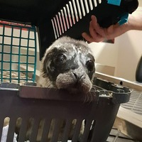 VIP airlift for seal pup found abandoned on Scottish island