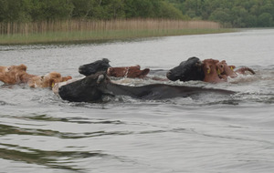 Video: Swimming cows make their annual pilgrimage across Lough Erne
