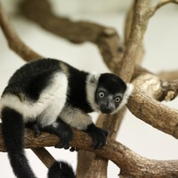 Three rare and adorable baby lemurs born in Prague Zoo