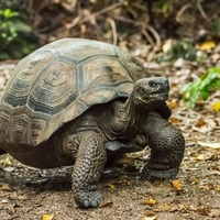 Watch a huge Galapagos tortoise eat a cactus at San Diego Zoo