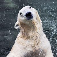 South Korea's last polar bear heading for Doncaster