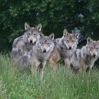 Fenced-in wolves could safely be re-introduced to Scotland, say researchers