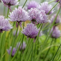Chive talkin: Three tasty herbs that are easy to grow in your own garden