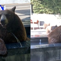 Watch this bear and her cubs take a dip in a garden water feature