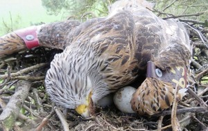 Attempts made to save red kite eggs after death of two birds in Co Down