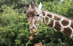 Check out these giraffes eating huge vegetable kebabs on skewers of willow