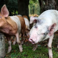 Gene-edited pigs resistant to 'costly' virus