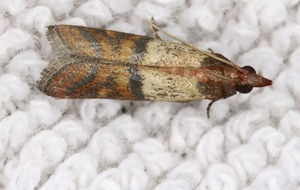 Higher-quality clothes could be leading to rise in moth infestations – Rentokil