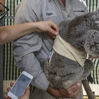 Quincy the koala gets hi-tech help for his diabetes at San Diego Zoo