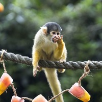In Pictures: How does a squirrel monkey cool down in a heatwave?