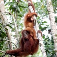 Orangutan study offers hope for conservation efforts