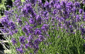 Gardening: Tips to help you to cut and dry lavender for scent and decoration indoors